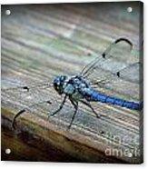 Anisoptera Acrylic Print