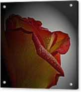 Anniversary Rose Acrylic Print