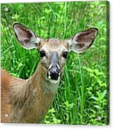 Another Deer Acrylic Print
