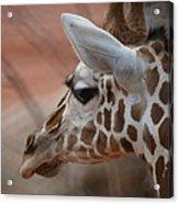 Another Giraffe Acrylic Print