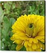 Another Many Yellow Petals Acrylic Print