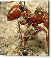 Ant Dorymyrmex Sp Workers Climbing Acrylic Print