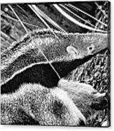 Ant Eater Acrylic Print