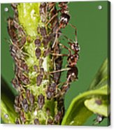 Ant Formicidae Pair Protecting Aphids Acrylic Print