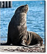 Antarctic Fur Seal 06 Acrylic Print