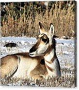 Antelope In Wintertime Acrylic Print