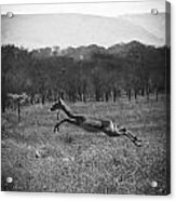 Antelope Jumping In Full Stride Acrylic Print