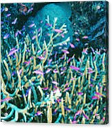 Anthias Fish In Coral Acrylic Print