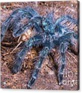 Antilles Pinktoe Tarantula Acrylic Print