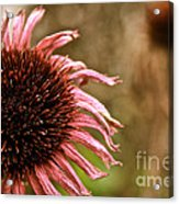 Antique Cone Flower Acrylic Print