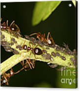 Ants Tending Aphids Acrylic Print