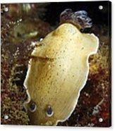 Aphelodoris Varia Sea Slug Nudibranch Acrylic Print