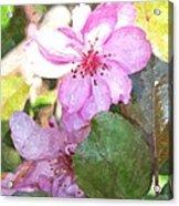 Apple Blossom II Ab2wc Acrylic Print
