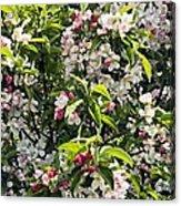 Apple Blossom (malus 'pom Zai') Acrylic Print