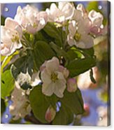 Apple Blossoms 3 Acrylic Print
