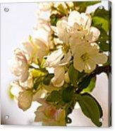 Apple Blossoms 9 Acrylic Print
