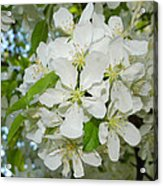 Apple Blossoms On The Trail Acrylic Print