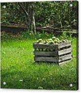 Apple Picking Acrylic Print