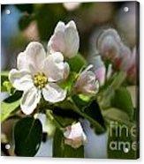 Apple Tree Flowers Acrylic Print