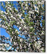 Apple Tree In Bloom Acrylic Print