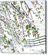 Apple Tree In Bloom With Spring Snow Acrylic Print