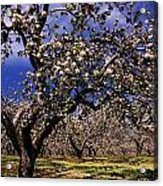 Apple Trees In An Orchard, County Acrylic Print