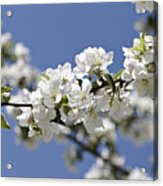 Apple Trees In Full Bloom Acrylic Print
