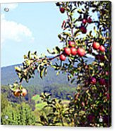 Apples On A Tree Acrylic Print