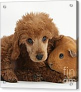 Apricot Miniature Poodle Pup With Red Acrylic Print