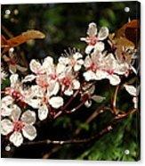 April Plum Blossom Acrylic Print