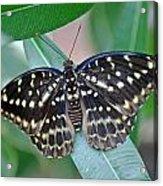 Archduke Butterfly Acrylic Print