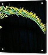 Arching Goldenrod Acrylic Print