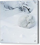 Arctic Fox Alopex Lagopus Curled Acrylic Print