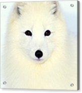 Arctic Fox In Snow Acrylic Print