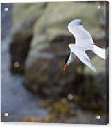 Arctic Tern (sterna Paradisaea) Acrylic Print