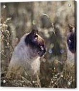 Are You Dreaming About Me - Siamese Feral Cat Acrylic Print