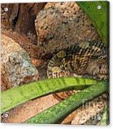 Arizona Rattler Acrylic Print