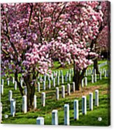 Arlington Cherry Trees Acrylic Print