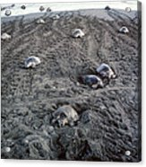 Arribada Of Olive Ridley Turtles, Costa Acrylic Print