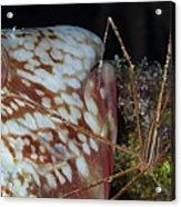 Arrow Crab And Parrotfish, Belize Acrylic Print