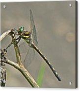 Arrowhead Spiketail Dragonfly - Cordulegaster Obliqua Acrylic Print