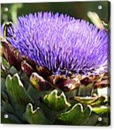 Artichoke Flower  Acrylic Print