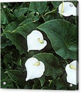 Arum Lily (zantedeschia Aethiopica) Acrylic Print