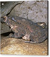 Asian Giant Toad Acrylic Print