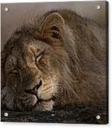 Asian Lion Panthera Leo Persica Acrylic Print