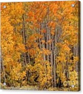 Aspen Forest In Fall - Wasatch Mountains - Utah Acrylic Print