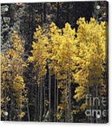 Aspen Gold Acrylic Print