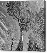 Aspen In The Sky Bw Acrylic Print