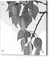Aspen Leaves In Black And White Acrylic Print