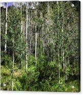 Aspen Trees - Vail Acrylic Print